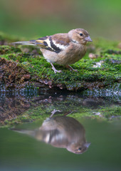Common Chaffinch Near The Water