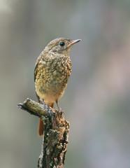 Juvenile Black Redstart