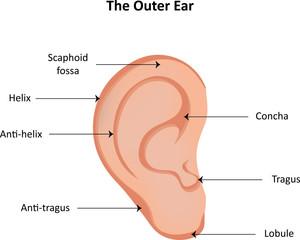 search photos quot outer ear quot  : outer ear diagram - findchart.co