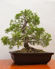 Miniature Juniper Bonsai tree contained in half pot.