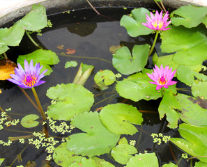 Three Pink Lotus are Blossoming