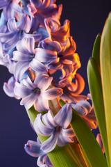 Beautiful hyacinth flower