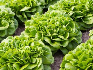 Salat - Salanova - Gemüse- Ernährung - Essen - Kopfsalat