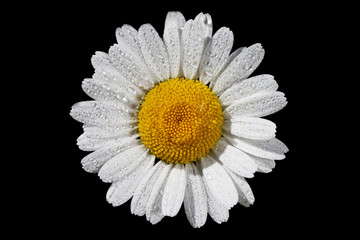 daisy isolated on a black background