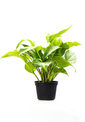 Green trees suitable for planting in residential areas