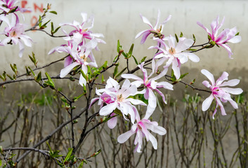 White, pink Magnolia branch flowers, tree flowers