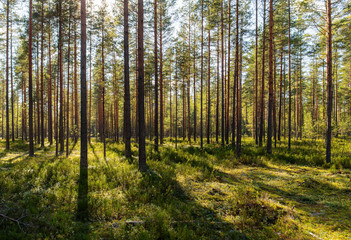 landscape in pine forest