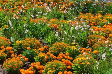 Studentenblumen blühen im Park- Tagetes