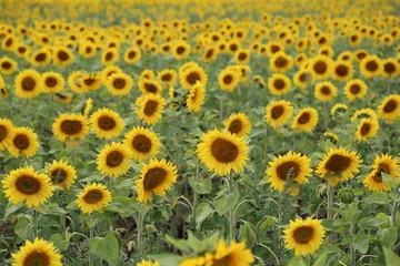 Schönes Sonnenblumenfeld
