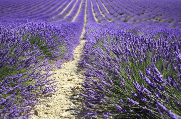 Wall Mural - fields of blooming lavender flowers (Provence, France)