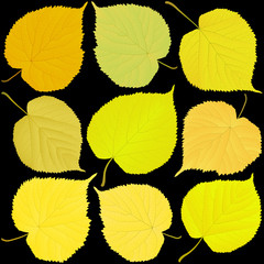 Wall Mural - linden autumn leaves on a black background