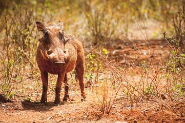 Wild hog in Kenya, Africa