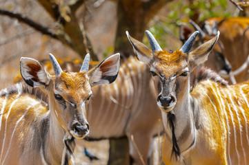 Deer in Kenya
