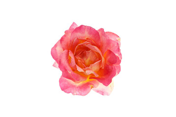 Rose in full bloom,isolated on white background.