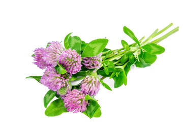 Trifolium pratense (red clover) isolated on a white background