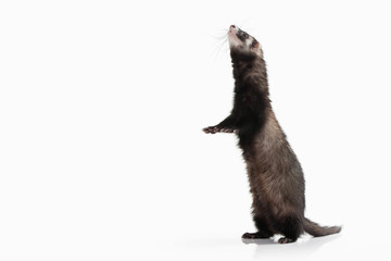 Animal. Old ferret on white background Wall mural