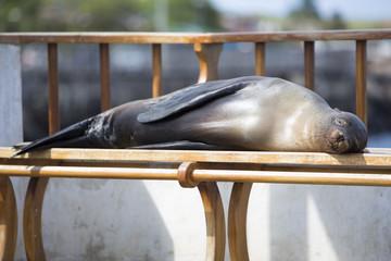 Sleeping Sea Lion on a bench, Galapagos Islands