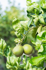 Green lime hanging on the tree in garden.
