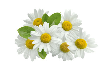 Chamomile flower group leaves isolated on white