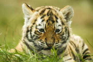 Aluminium Prints Tiger Siberische tijger welp.