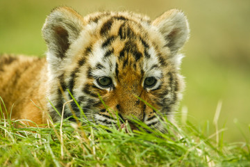 Wall Murals Tiger Nieuwsgierige tijger welp