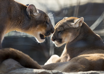 Mountain lion couple sharing an intimate moment