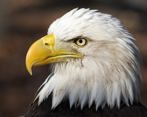 Wall Mural - close-up portrait of a bald eagle