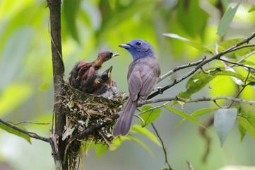 Black-naped Monarch Hypothymis azurea Nest Baby Feeding