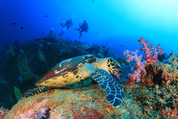 Scuba divers and Hawksbill Sea Turtle