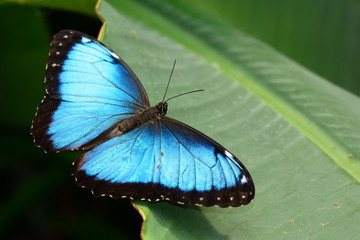 Blue morpho butterfly shows off its beauty.