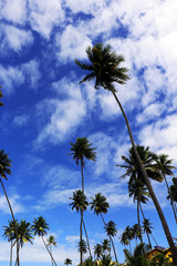 High coconut palms, blue sky and white clouds