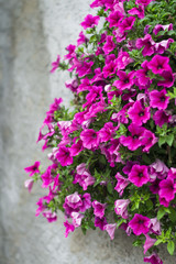 flowers petunias on the gray wall