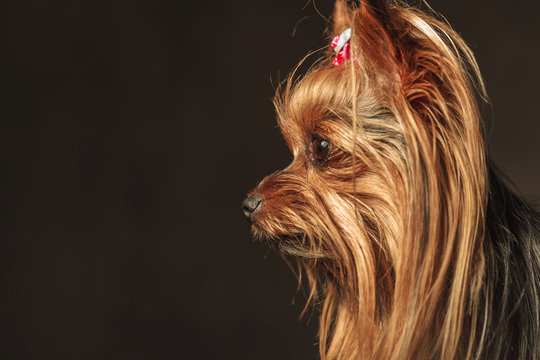 side view of an adorable yorkie puppy looking to something