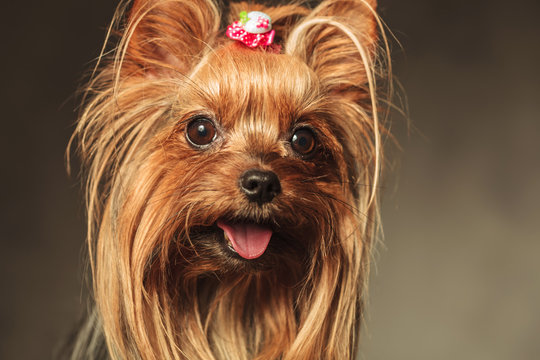 closeup picture of a happy little yorkshire terrier puppy dog fa