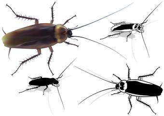 Cockroach (Blattella germanica) - Detailed Illustration
