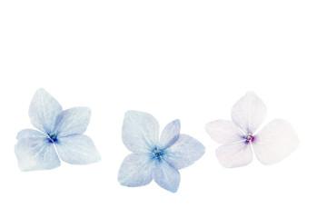 Hortensie (Hydrangea) Makro
