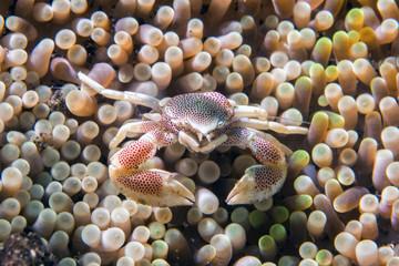 porcelain crab amacro underwater portrait