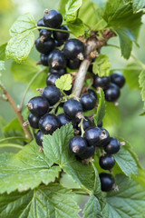 black currant branches with leaves
