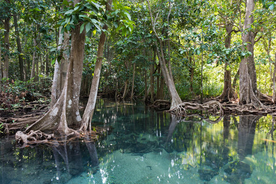 Mangrove trees in a peat swamp forest. Tha Pom canal area, Krabi