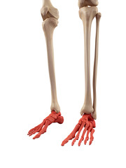 medical accurate illustration of the foot bones