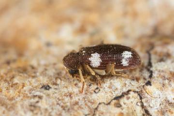 Spider beetle, Ptinus sexpunctatus on wood, high magnification