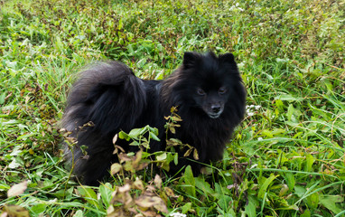 pomeranian dog german spitz outdoor
