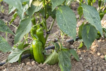 Green fresh peppers
