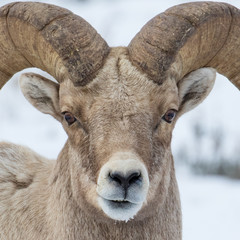 bighorn closeup