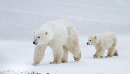 Polar bear mom and cub walking on the ice