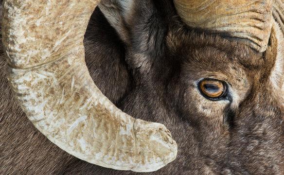 bighorn sheep eye and horn