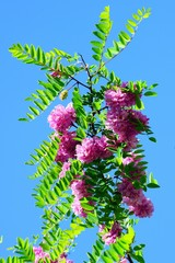 Pink acacia flowers on blue sky background