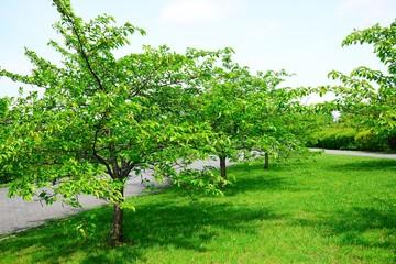 Green sakura trees after spring blossom in Vilnius
