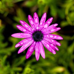 Purple daisy flowers, rain drops