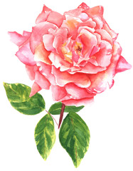 A vintage style watercolour drawing of a pink rose
